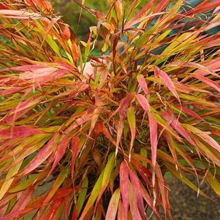 Nicolas Hakonechloa macra Hakone Grass Plant