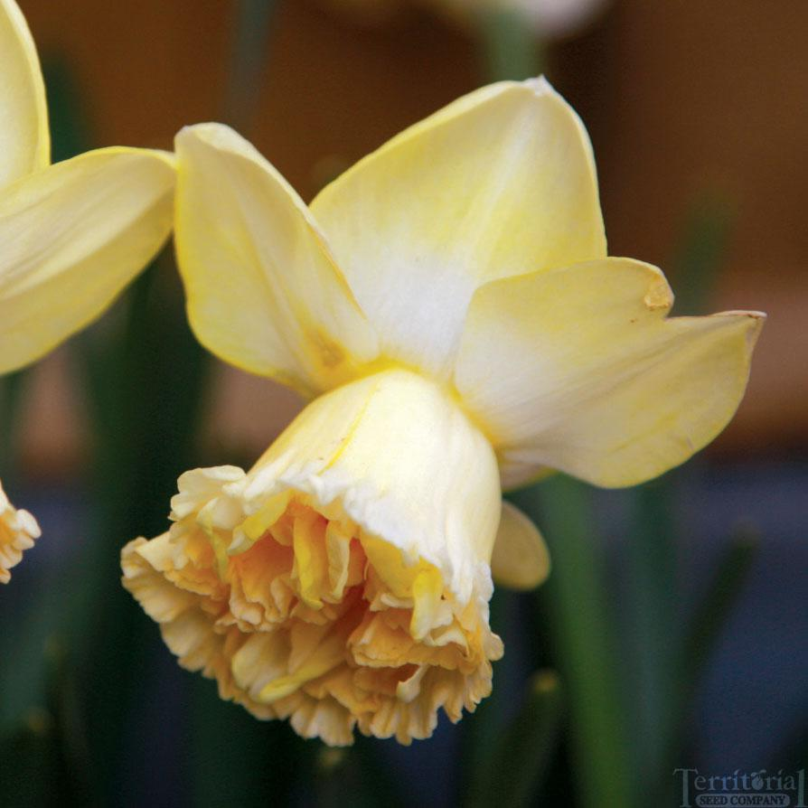 Daffodil-Art Design