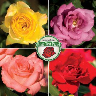 2013 Rose Test Panel Membership & Four Bareroot Test Roses