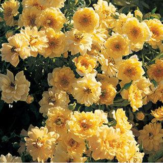Yellow Ribbons Groundcover Rose