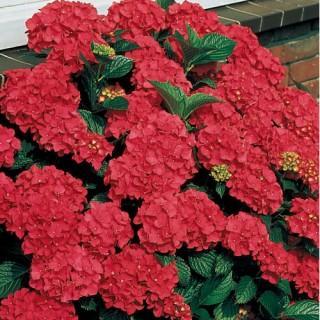 Royal Red Hydrangea