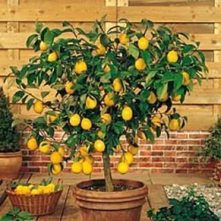 Citrus Lemon Tree