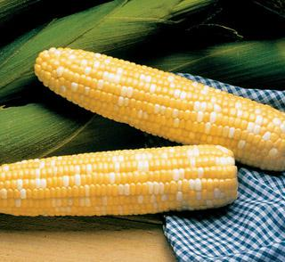 Corn Serendipity Triplesweet™ Hybrid