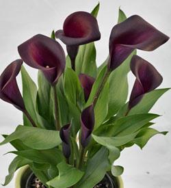 Nightlife™ Callafornia Calla® Calla Lily  - 3 tubers