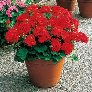 Geranium Elite Red Hybrid