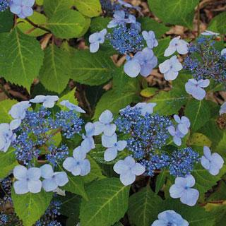 Twist-n-Shout Hydrangea macrophylla Shrub