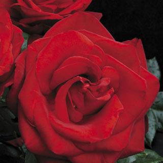 Always and Forever™ Red Hybrid Tea Rose