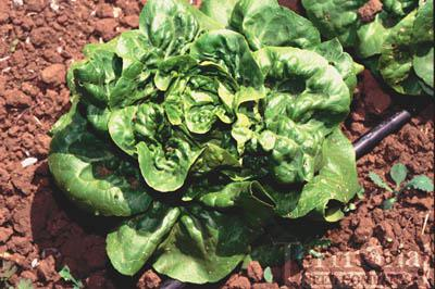 Buttercrunch Lettuce Conventional & Pelleted