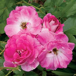 Brilliant Pink Iceberg 36-inch Patio Tree Rose