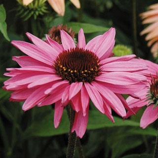 Gemini Pink Echinacea Coneflower Plant