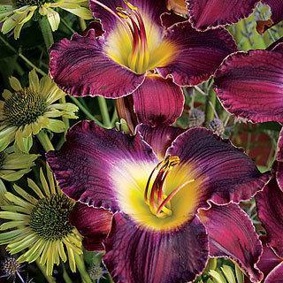 Shaka Zulu Hemerocallis Daylily Plant