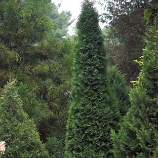 North Pole™ Thuja occidentalis Arborvitae Shrub