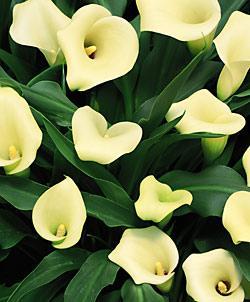 Mint Julep Callafornia Calla® Calla Lily - 3 tubers