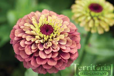 Zinnia-Queen Red Lime