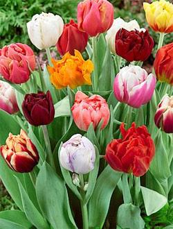SOLD OUT Mixed Double Early Tulips - 10 bulbs