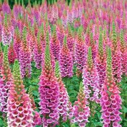 Foxglove purpurea 'Candy Mountain'