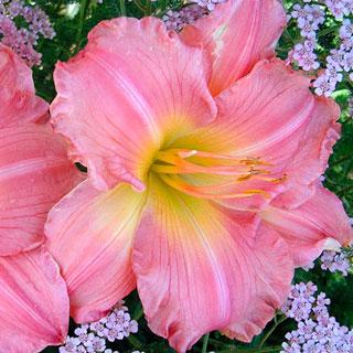 Joylene Nichole Daylily Plant