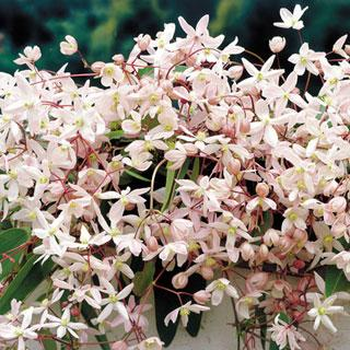 Apple Blossom Clematis Plant