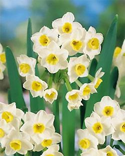 SOLD OUT Avalanche Tazetta Daffodil - 10 bulbs