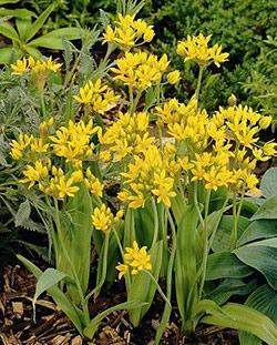 SOLD OUT Moly Allium - 5 bulbs