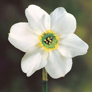 Sinopel Daffodil Bulb - Pack of 5