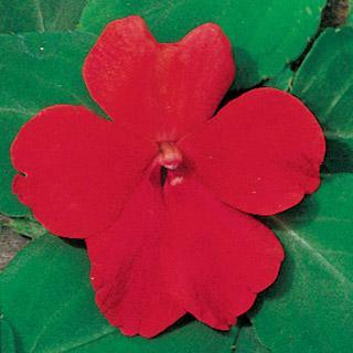 Impatiens Shady Lady Scarlet Hybrid