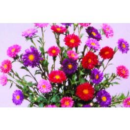 Double Rainbow Mix - Asters