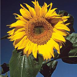 Mammoth Gray Stripe Sunflowers