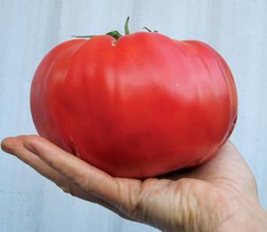 Tomato Brandywine