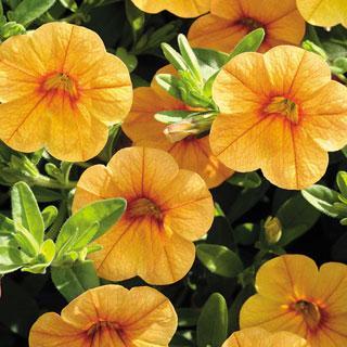 Calibrachoa MiniFamous™ Tangerine