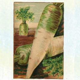 White Belgian (Blanche A Collet Vert) Carrot
