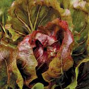 Early Palla Rossa Radicchio