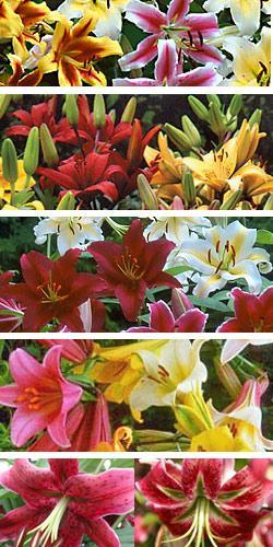 Mixed Lilies - 5 bulbs