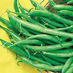 Derby Bush Beans