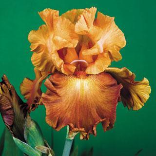 Lovely Senorita Tall Bearded Iris Plant