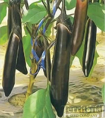 Dairyu Eggplant