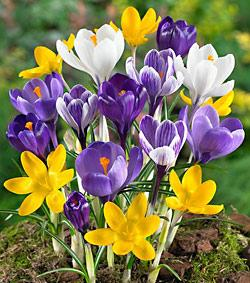 SOLD OUT Mixed Large Flowering Crocus - 10 bulbs