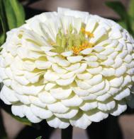 Giant Dahlia Flowered White