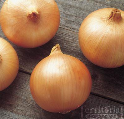 Onion Plants-Candy