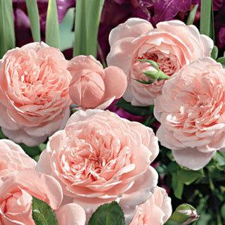 Heaven on Earth Floribunda Rose