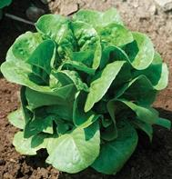 Winter Density (Pelleted) Bibb Lettuce