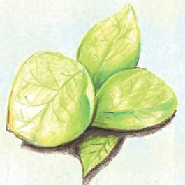 Green Calaloo Amaranth