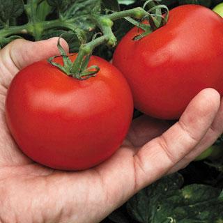 Mega Bite Hybrid Tomato Annual Plant