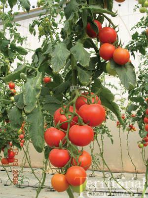 Applegate Tomato Organic