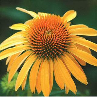 Harvest Moon™ Echinacea Coneflower Plant