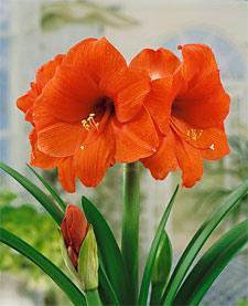 Orange Sovereign Amaryllis  - 1 bulb