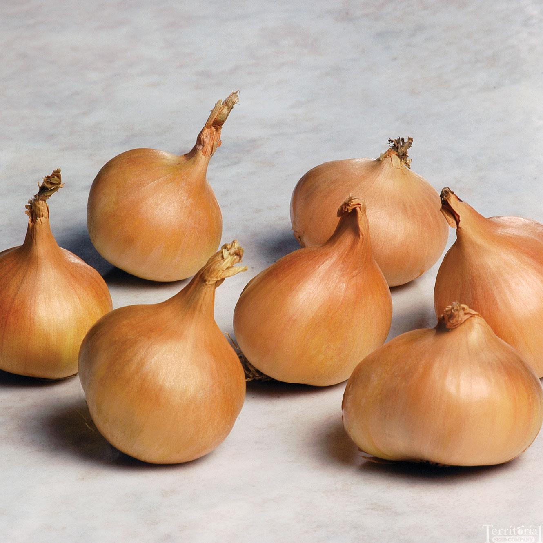 Saffron Shallot Seed