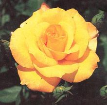 Gold Glow Hybrid Tea Rose - 1 bare root plant