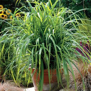 Carex 'Fresh Look'