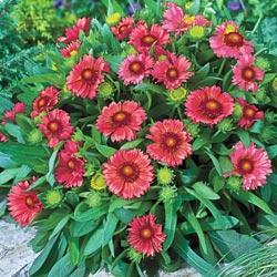 Gaillardia x g. 'Arizona Red Shades '